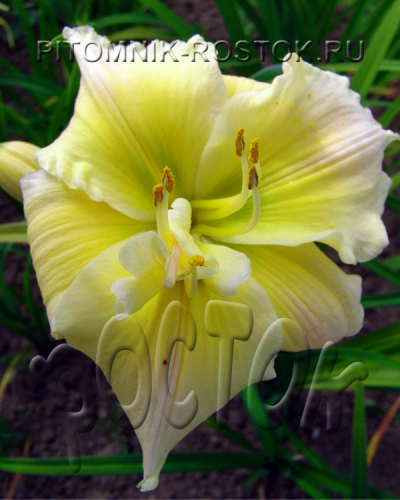 "Hemerocallis  ""Tequila and Lime"""