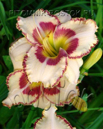 "Hemerocallis  ""Lady Betty Fretz"""