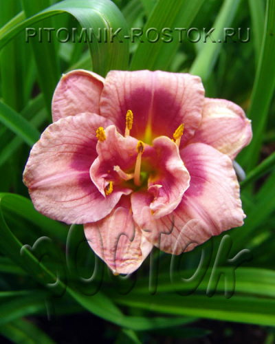 "Hemerocallis  ""Just my Size"""