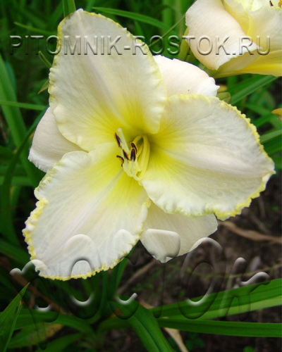 "Hemerocallis  "" Blizzard Bay"""
