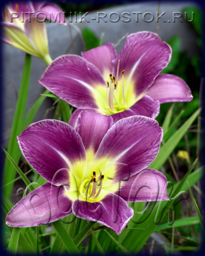 "Hemerocallis  ""Lavender Deal"""