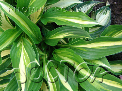 "Hosta  ""Lakeside Little Tuft"""