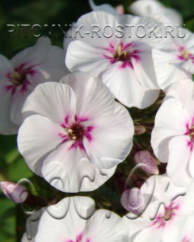 Phlox Mike's Favourite