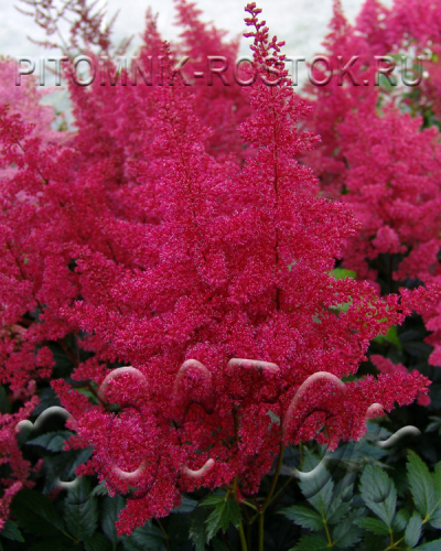 "Astilbe japonica ""Montgomery"""