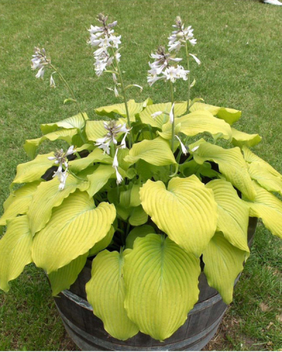 "Хоста ""Пидмонт Голд""  -  Hosta  ""Piedmont Gold"""