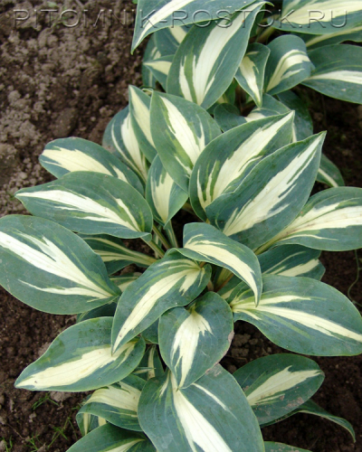 "Hosta ""Party Popper"" к концу лета"
