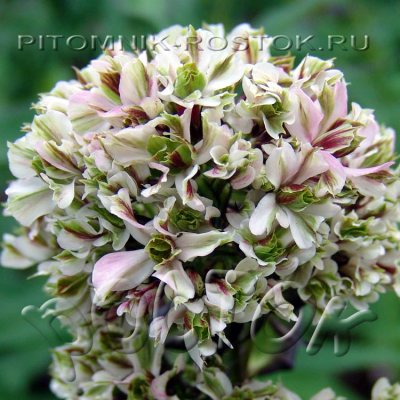 "phlox paniculata ""Pure Feelings ® """