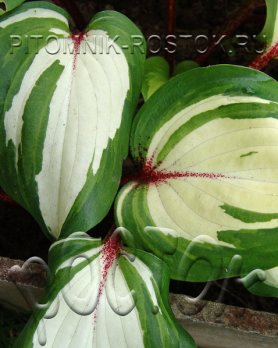 Raspberry Sundae (hosta)