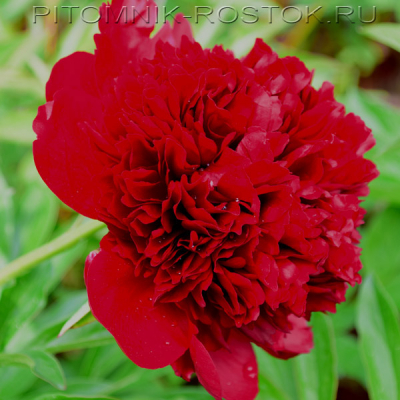 Пион молочноцветковый Ред Чарм  - Paeonia lactiflora  Red Sharm