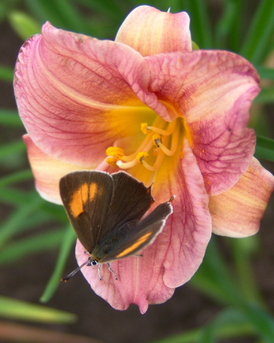 Hemerocallis Rosy Returns