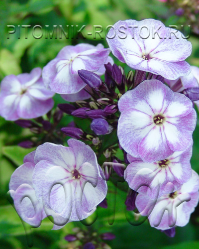 "phlox paniculata ""Sternhimmel"""