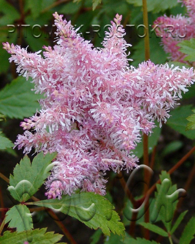 Astilbe Sugarberry-®