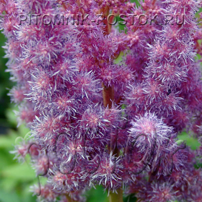 "Astilbe  Chinensis ""Superba"""