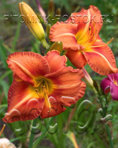 "Hemerocallis  ""Tuscawilla Tigress"""
