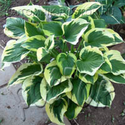 "Хоста ""Кэрин""  -  Hosta  ""Karin"""