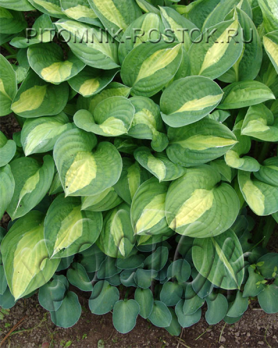 "Hosta  ""Blue Mouse Ears"""