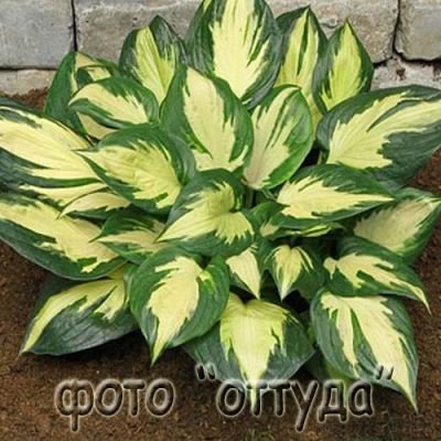 "Хоста ""Монинг Стар""  -  Hosta  ""Morning Star"""