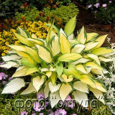 "Хоста ""Оринж Мармелад""  -  Hosta  ""Orange Marmalade"""