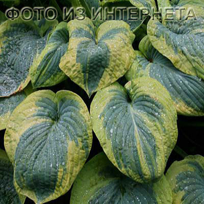 "Хоста ""Frances Williams""  -  Hosta  ""Френсис Вильямс"""