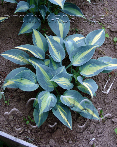 "Hosta  ""Catherine"""