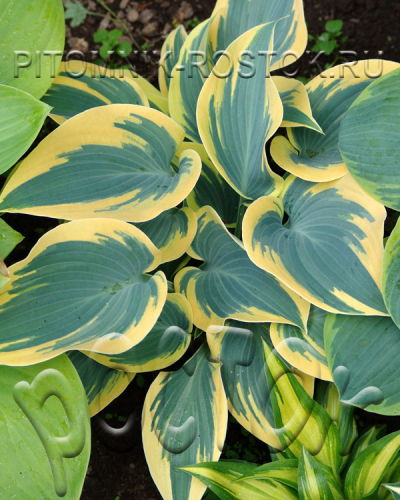 "Хоста ""Фёрст Фрост""  -  Hosta  ""First Frost"""