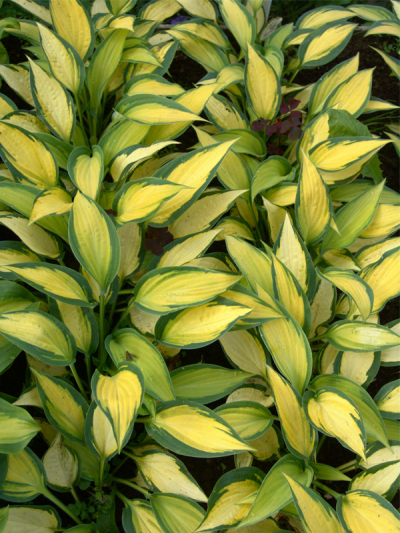 "Hosta  ""Orange Marmalade"""