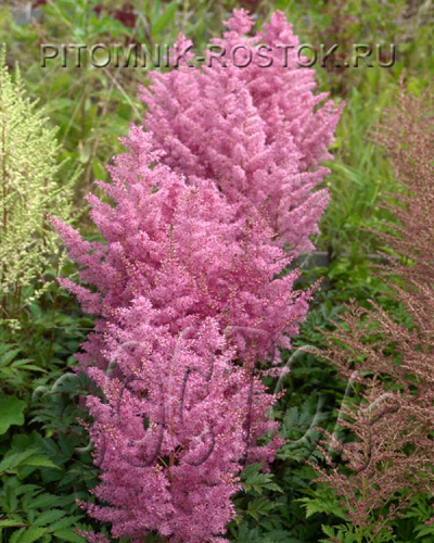 "Astilbe ""Younique Pink """