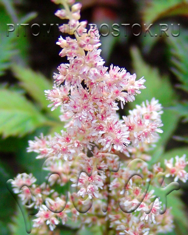 Астильба simplicifolia  Touch of Pink