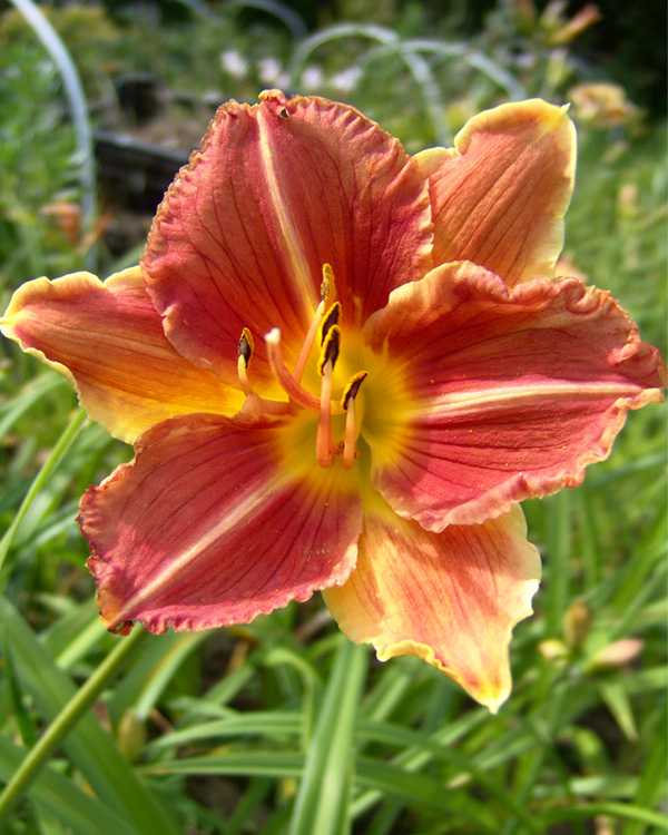 Hemerocallis Veins of Truth