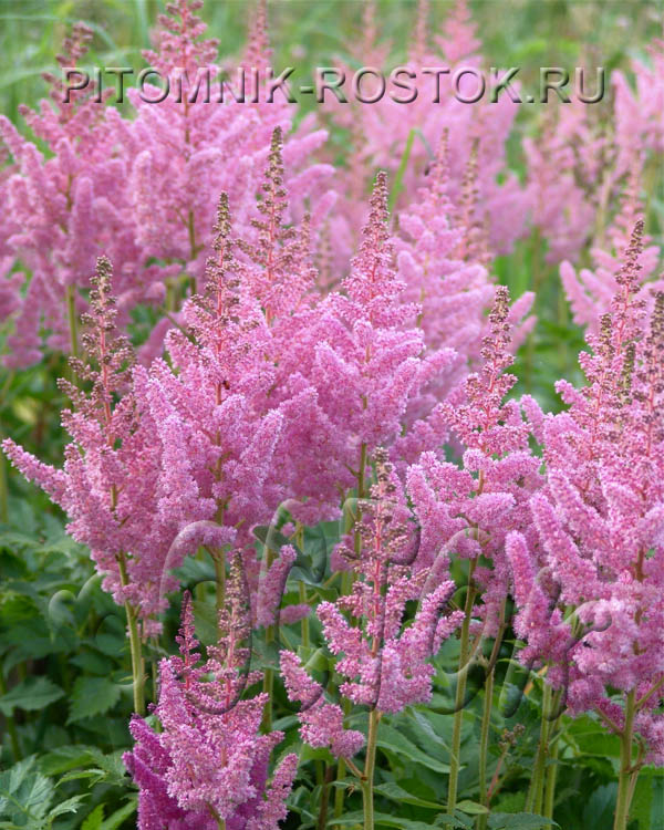 """Astilbe Chinensis """"Vision in Pink"""