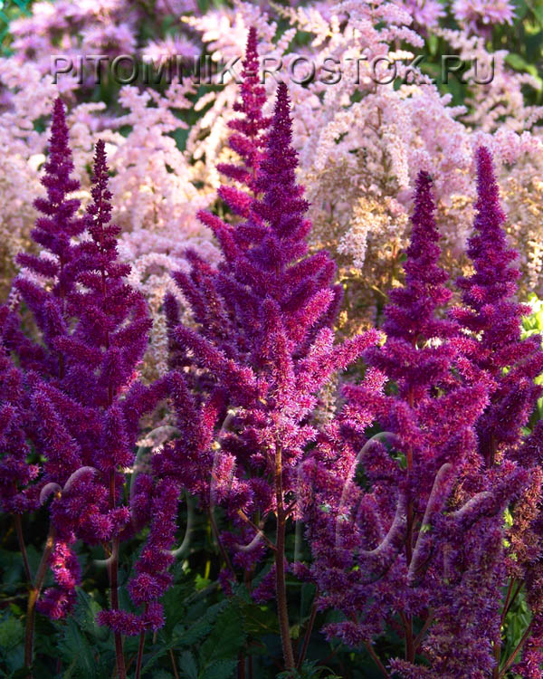 "Astilbe  Chinensis ""Vision in Red ®"""