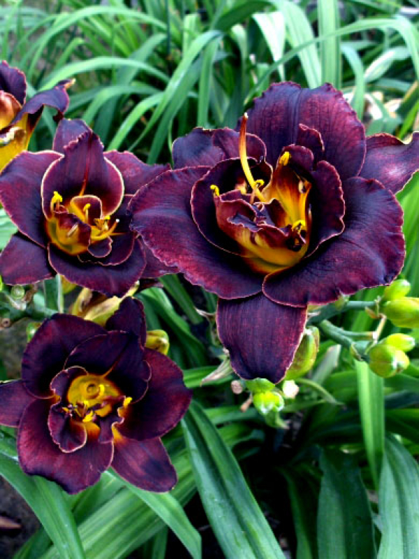Hemerocallis  Voodoo Dancer