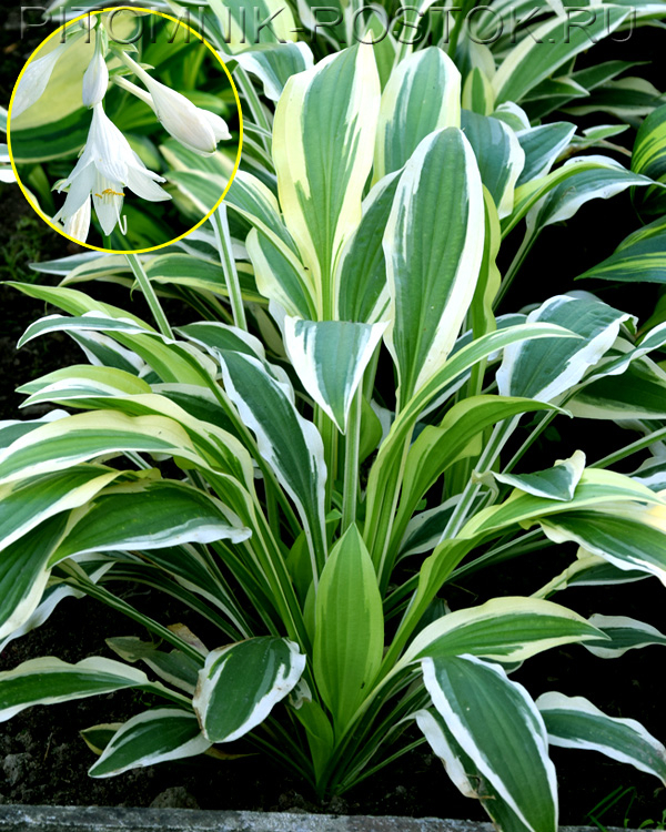 "Hosta"" White Dove"""
