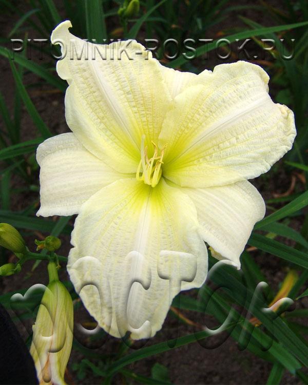 Hemerocallis  White Temptation