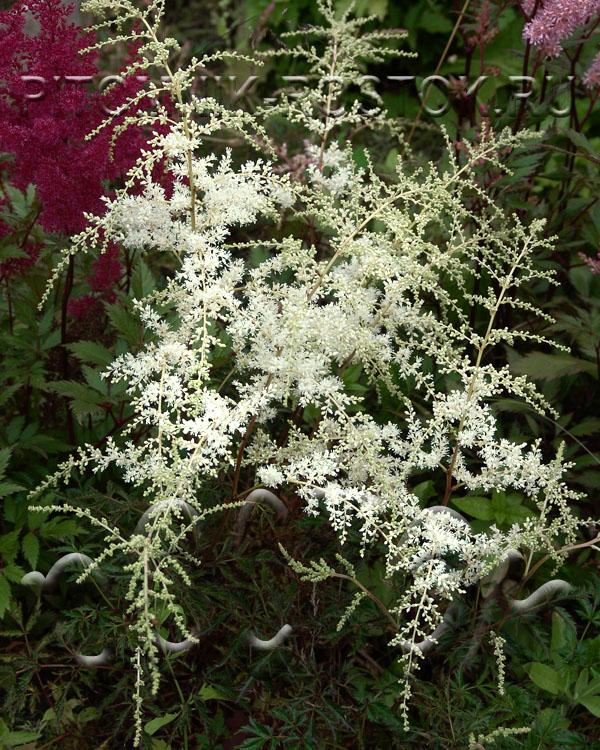 Astilbe simplicifolia White Sensation
