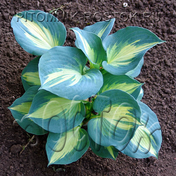 "Hosta  ""Beach Boy"""