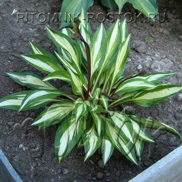 "Hosta  ""Cherry Berry"""
