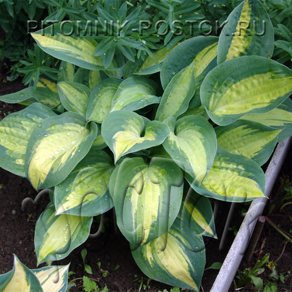 "Hosta  ""Center of Attention"""