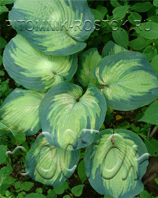"Hosta  ""Color Glory"" в тени"