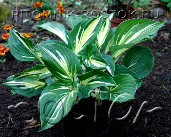 "Hosta  ""Clifford's Stingray"""