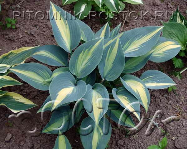 "Хоста ""Таймлесс Бьюти""  -  Hosta  ""Timeless Beauty"""