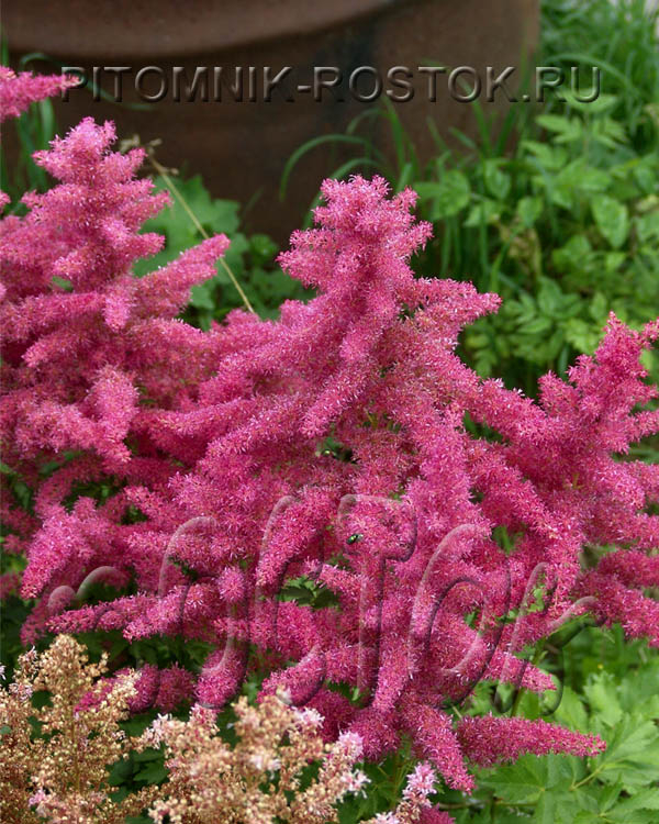 "Astilbe Younique ""Cerise"""